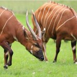 Endangered species in mountain bongo at risk of extinction