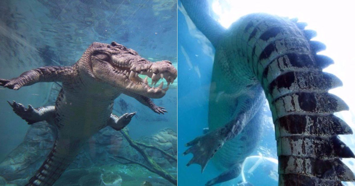 Tourists come face-to-face with massive 16ft-long crocodiles in terrifying Australian cage diving attraction