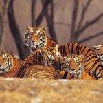 Tigers use corridors to traverse India-Nepal border