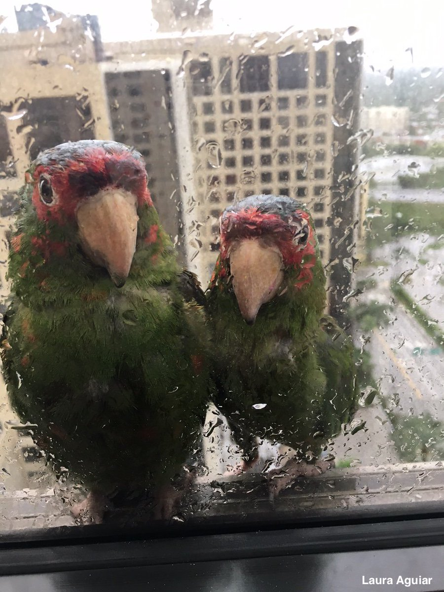 Pair of parrots seek shelter from Hurricane Irma on 22nd floor of Miami hotel.