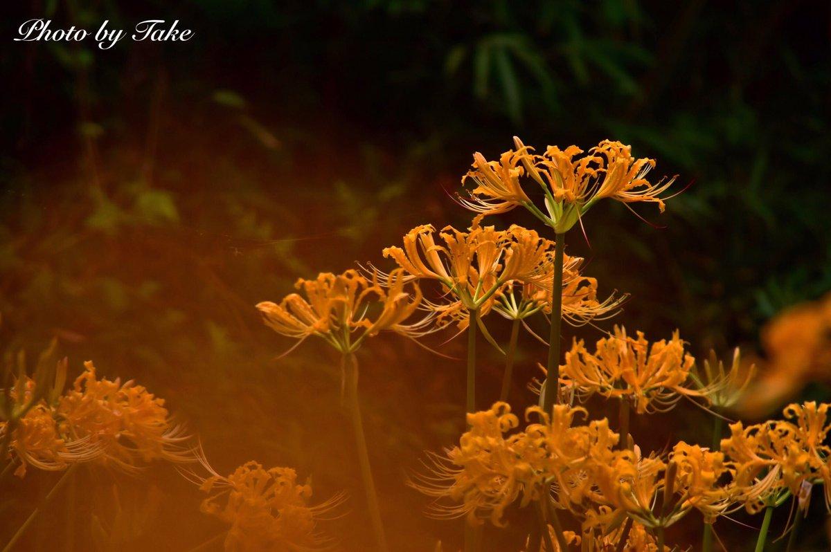 「彼岸花」#彼岸花 #みろく自然公園 #写真好きな人と繋がりがたい #ファインダー越しの私の世界 #写真 #うどんの国