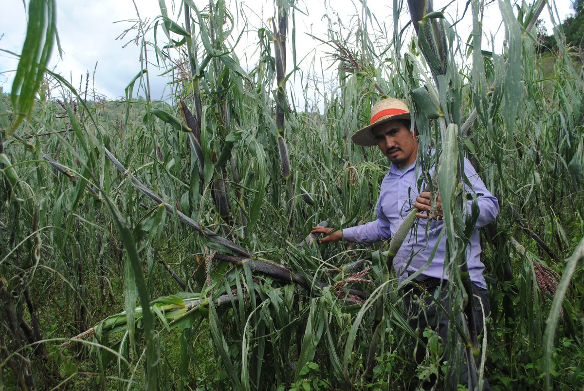 Variaciones climáticas afectan producción agrícola en Quetzaltenango