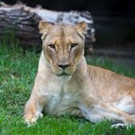 Adelaide Zoo's lioness Yizi dies after procedure to investigate mane growth