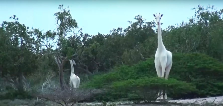 Amazing! Rare white giraffes spotted by Kenyan #conservation group https://t.co/Wcw5j7Glib   #wildlife https://t.co/erFtks5wMM