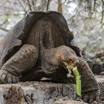 Scientists hope to restore extinct Galapagos turtle species