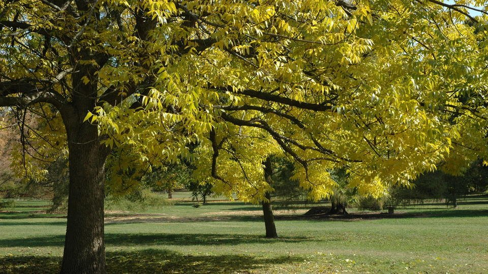 Ash tree species pushed to brink of extinction