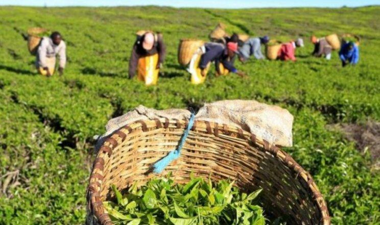 Bomet tea farmers express dissatisfaction on bonus prices