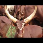 New Livestock Programme to Adopt to Drought