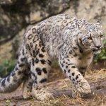 Snow leopards change spots, no longer 'endangered'