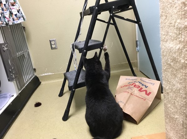 Adoptable #cat #Licorice_SDHSCA_09 Playful and likes treats https://t.co/hUcCS8S0e1 https://t.co/QHcEhUURCk