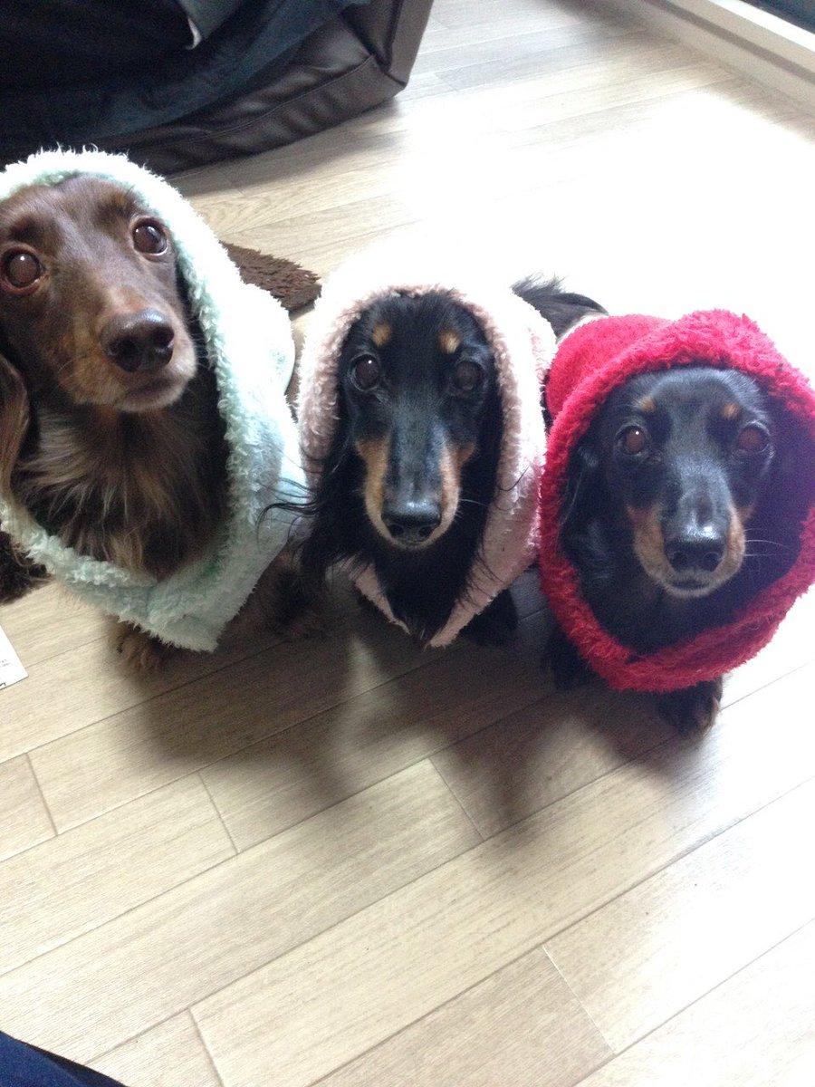 懐かしい写真集!第一弾( ⁼̴̀꒳⁼̴́ )ドヤッ✧ひなもれんもるるも被り物似合う❤︎#ミニチュアダックス#犬#犬好き