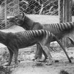 Draught, not dingos, killed off Tasmanian tiger: study