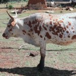 Government Seeks 250 Billion to Vaccinate Cattle Against Foot and Mouth Disease