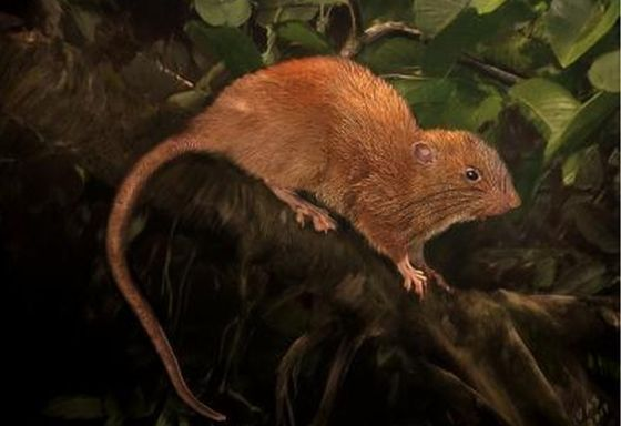 New species of giant rat discovered on the Solomon Islands