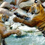 Stealthy, scarce and spectacular: Viewing tigers in India