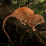 Oh, rats! Big tree-dwelling rodent found in Solomon Islands