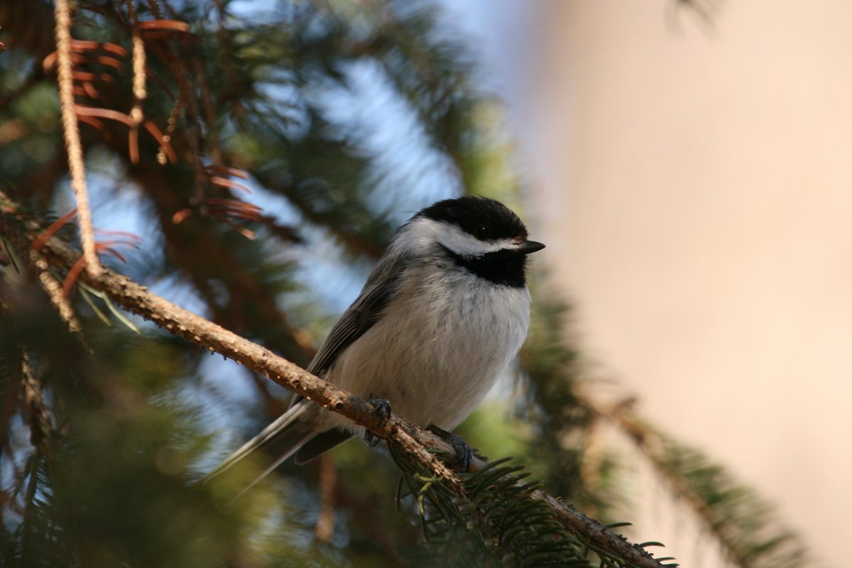 "test Twitter Media - The black-capped chickadee is also known as the ""cheeseburger bird"" Why? Their call! #NationalCheeseburgerDay More: https://t.co/FtJ94Ejywi https://t.co/31FULWp7hP"