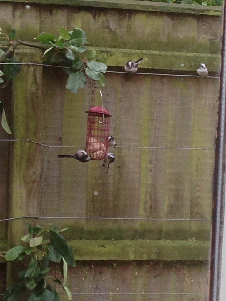 Breakfast time for the longtailed tits -  forming an orderly queue! Great way to start my day. https://t.co/lXlaVOqsQ0
