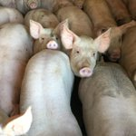 Panel rejects call for new animal feeding operation rules