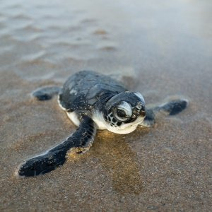 Scientists ask public to help track Hawaii green sea turtles