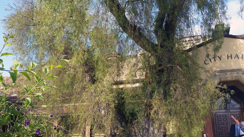 Laguna Beach may clone a beloved 135-year-old tree to save it https://t.co/gqshSHzy9m https://t.co/clBqB6LvsH