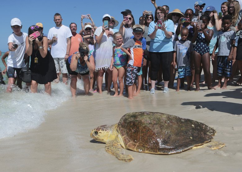 Huge sea turtles slowly coming back from brink of extinction