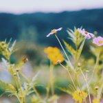 鮮やかなコスモス畑#創作に使える素材 #フリー素材 #photography --- ✂︎