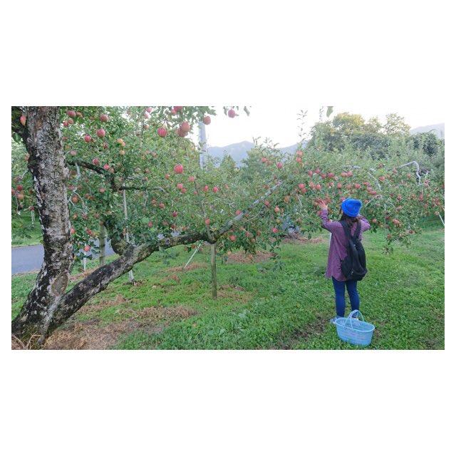 一足早いりんご狩り🍎りんごの木って沢山実を付けるまでに5年から10年かかるんだって。ももくり3年りんご5年◎