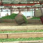Tea farmers to pocket 58 shillings and 81 cents per kilo