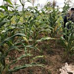 Maize farmers call for end to subsidy to cushion them