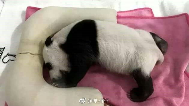 This cub is 七仔 Qizai and 珠珠 Zhuzhu's daughter, fans call her