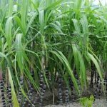 Small-scale sugarcane growers trained on modern-day farming