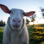 Tientallen dode schapen gevonden bij veehouder
