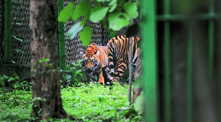 Fatal attack by tiger reopens debate: Should big cats be released in the wild aftercapture