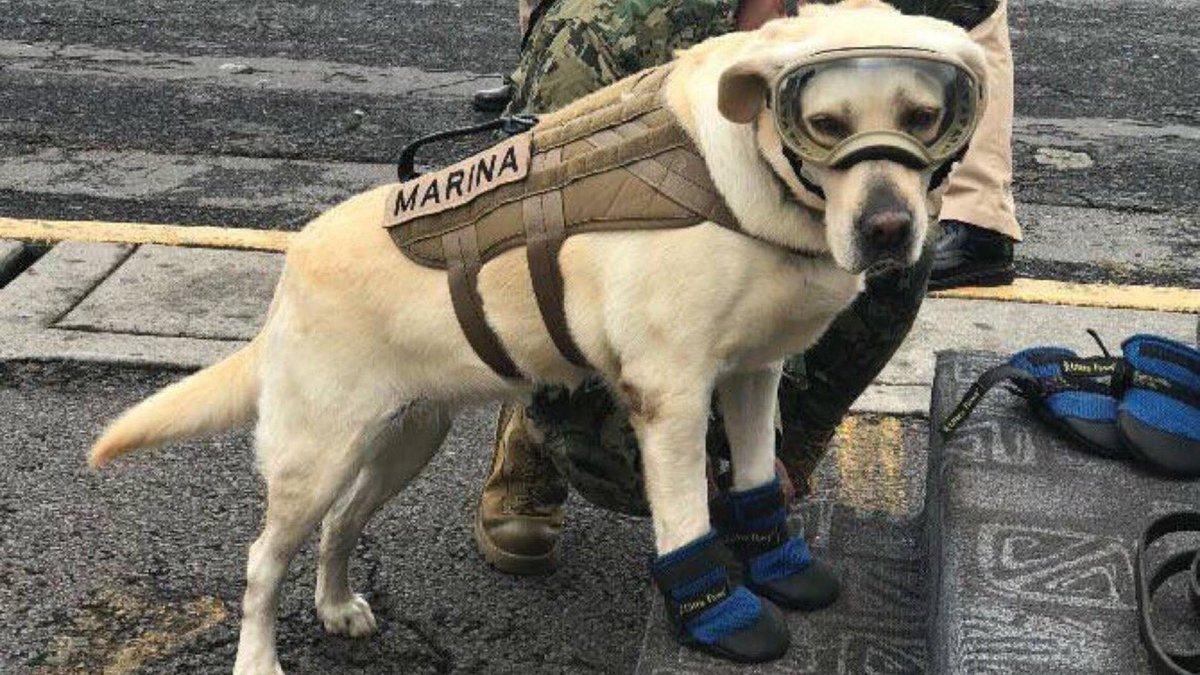 Frida the Labrador emerges as hero following Mexico earthquake