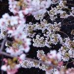 ねぇ 知ってる?秒速5センチメートルなんだって桜の落ちるスピードそうやって いつかまた一緒に桜を見ることが出来ると私も彼
