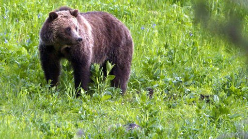More grizzly bears roaming outside national parks in Wyoming