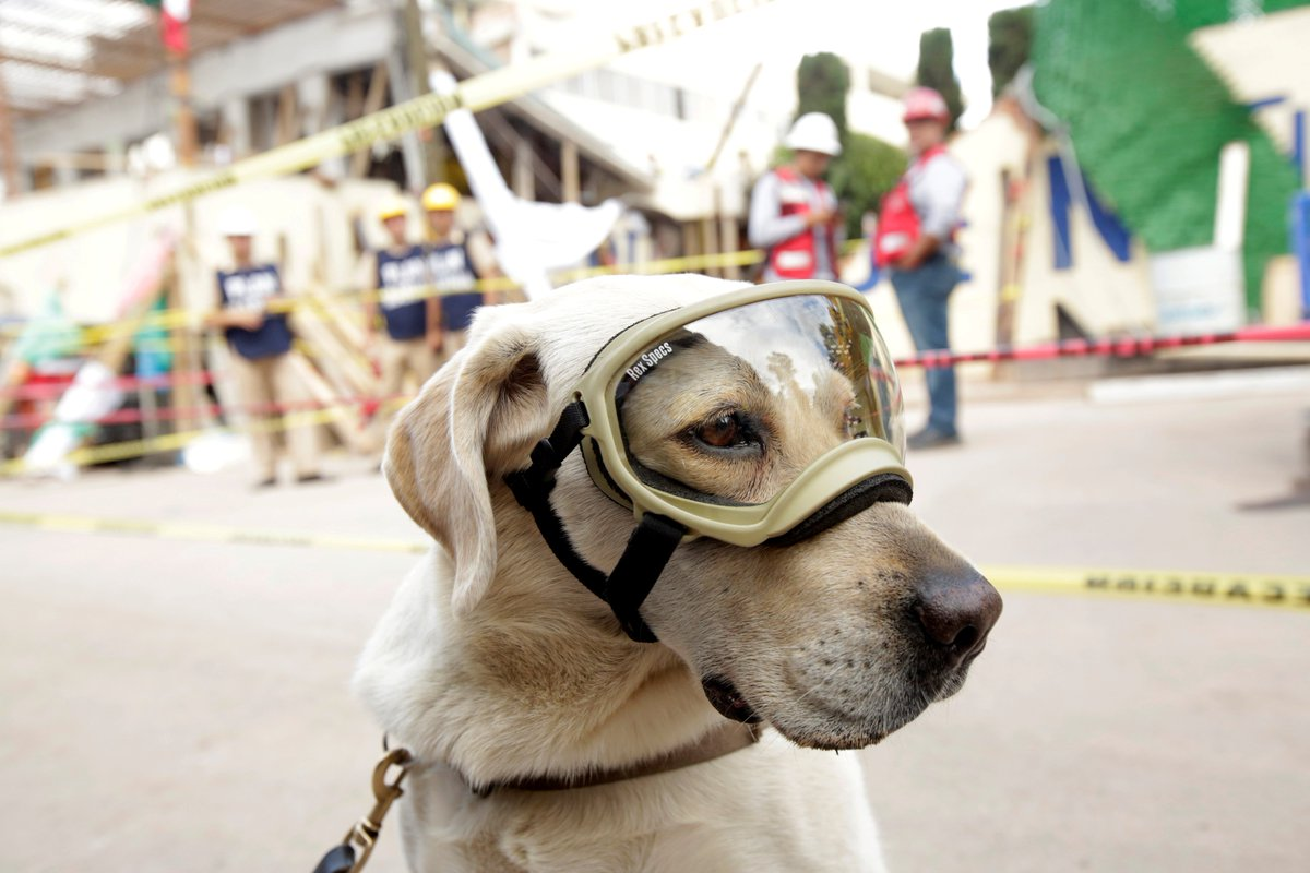 7-year-old Navy rescue dog #Frida has become hero of #MexicanEarthquake as she does best to save lives in disasters