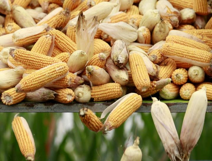 China's August corn imports up 14-fold on year, sugar falls