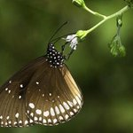 How the Indian monsoon shapes butterfly physiology