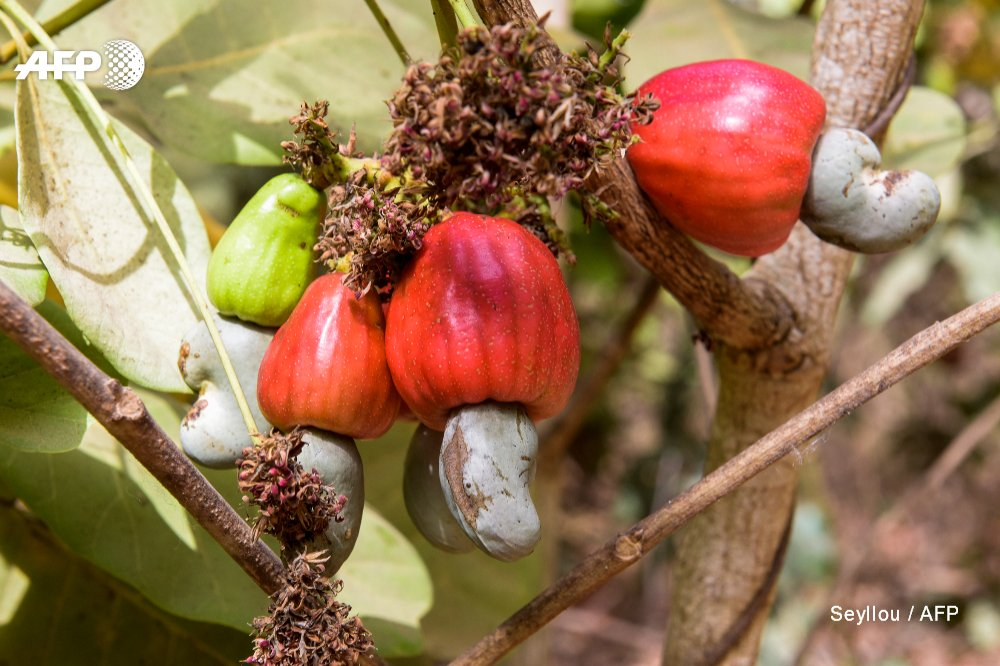 Guinea-Bissau reaps reward as world goes nuts for cashews