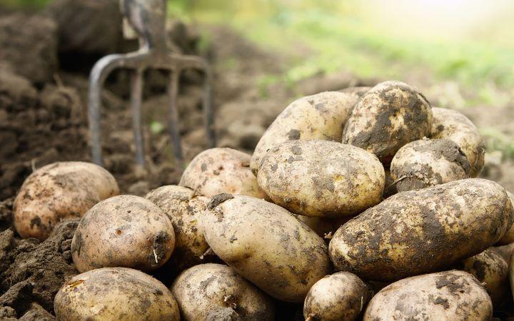 Vanuatu govt assists in harvest of 40 tonnes of potatoes