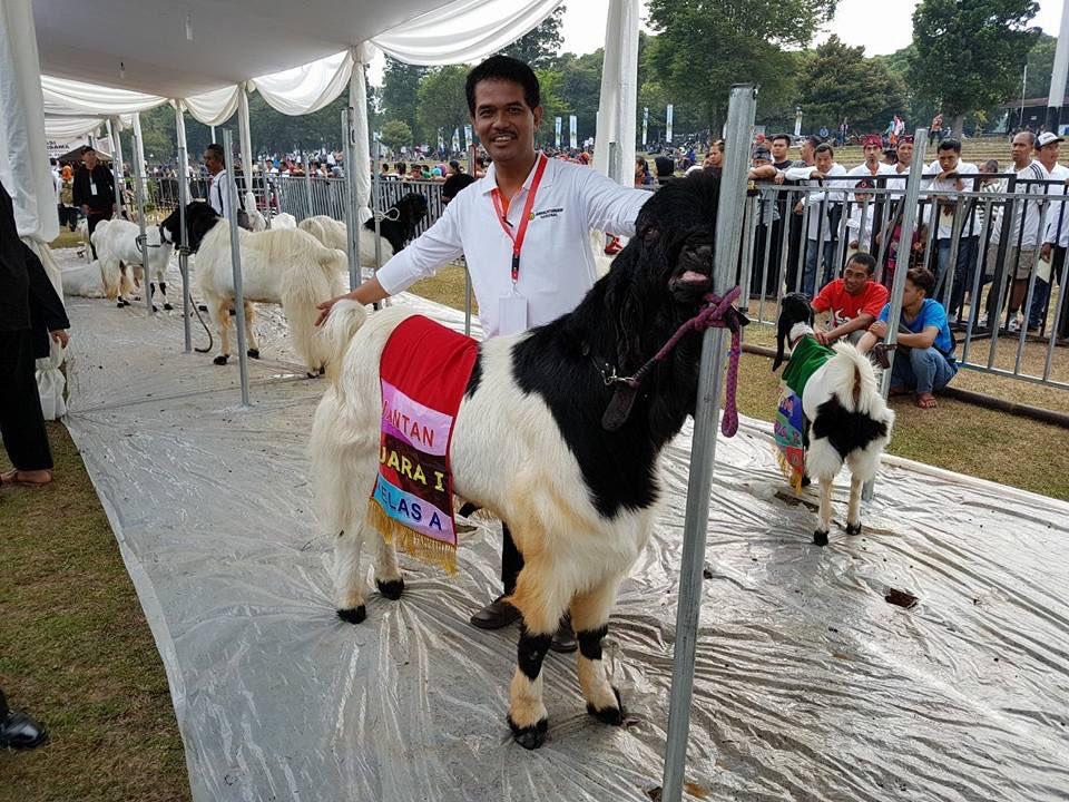 Ini salah satu kambing yg mendapat juara dan raih piala presiden di Jambore Peternakan 2017, Cibubur (24/9) https://t.co/MoFRIh6o1X #Petan…