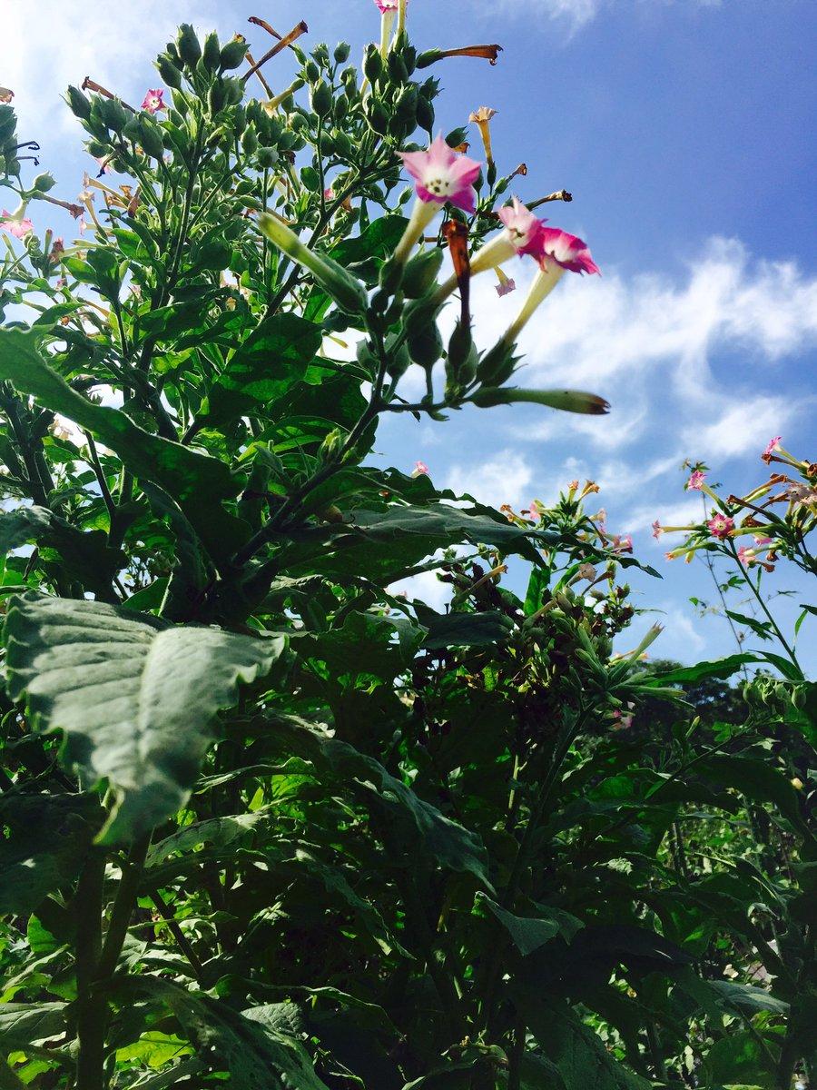 武田薬品の薬用植物園に行ってきた。香辛料園、漢方処方園、民間薬園などあり、すごい楽しかった。1週間くらいいたい。タバコの