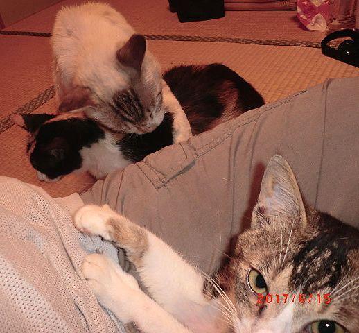 所が余所からやって来て図々しくウチに上がり込み、飼い猫になりすましている「汚いシャム」は去勢雄なのだが身ぎれいにしている