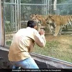 These Tigers Have The Best Reaction To A Man Dancing In Front Of Them