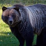 Conservation group says Alberta grizzly, Bear 148, shot dead in B.C.