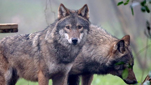 British woman hiking in Greece attacked, devoured by pack of wolves