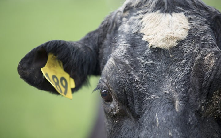 'Absolutely no risk' in culled cow meat