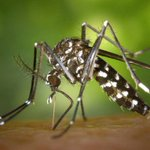 Mosquito tests positive for West Nile virus in Westlake area, Rollingwood